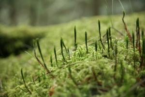 Mos i græsplænen